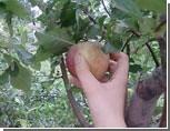 Уральские подростки травятся ворованными яблоками