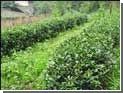 Индийский чайный рай оказался отрезанным от мира