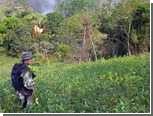 Власти Перу приостановили ликвидацию кокаиновых плантаций
