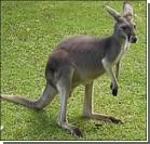 Лиса и кабан помогли кенгуру сбежать из зоопарка