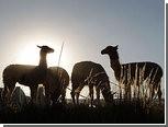 Агрессивные ламы заменят британцам сторожевых собак