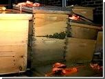 У жителя Нью-Йорка конфисковали три миллиона пчел