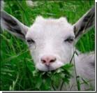 В Японии в борьбе с сорняками будут использовать коз