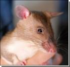 В американской армии будут служить крысы