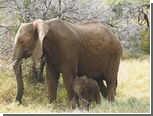 В Зимбабве решили торговать слоновой костью ради сохранения слонов
