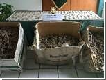 В Перу конфисковали 16 тысяч сушеных морских коньков
