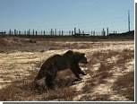 Гризли задрал надоедливого фотографа в заповеднике на Аляске