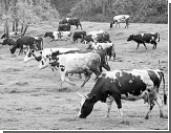 Прогноз: Молоко и мясо подорожают уже осенью