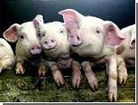 Мошенник заработал полмиллиарда рублей на свиньях