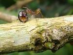 Божьи коровки подслушали тревожные сигналы муравьев