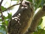 На Филиппинах обнаружили голубоглазых сов