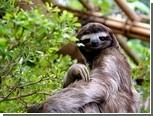 Медлительность ленивцев изменила анатомию их вестибулярного аппарата