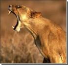 В зоопарке маленькую девочку вытащили из пасти льва. Видео
