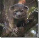 """В лесах Эквадора открыт новый вид хищника - """"помесь кота и плюшевого мишки"""". Видео"""