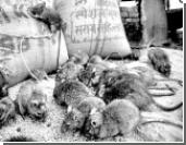«Суперкрысы» против человечества