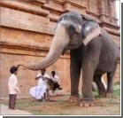 Раскормленных индийских храмовых слонов посадили на диету
