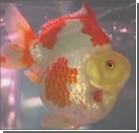 В Китае прошел конкурс красоты среди золотых рыбок