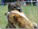 В Тбилиси запретили собачьи бои