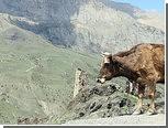 """Житель Северной Осетии взял коров в """"заложницы"""""""