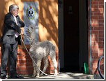 Австралиец сходил со своей альпакой в полицейский участок