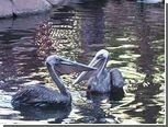 Казино приютило пару травмированных пеликанов