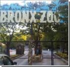 В зоопарке Нью-Йорка на посетителя напал тигр. Фото