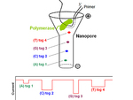 Последовательность ДНК определили с помощью нанопор