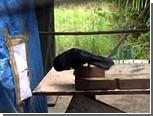 Новокаледонские вороны оказались способны сопоставлять причины и следствия