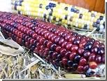 Кукурузу превратили в биореактор