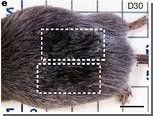 Ученые недооценили способности млекопитающих к регенерации