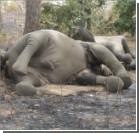 В Зимбабве более 80 слонов отравили цианистым калием