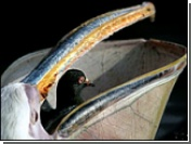 Лондонский пеликан сожрал голубя