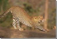 В британском посольстве поселился леопард