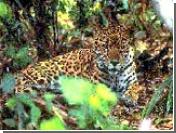 В британском посольстве в Эфиопии самовольно поселился леопард