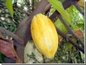 Фермеры Кот-д'Ивуара взвинтят мировые цены на шоколад