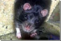 В Индии объявлена охота на крыс