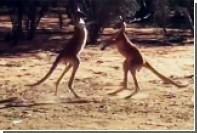 Кенгуру в Австралии устроили поединок по кикбоксингу