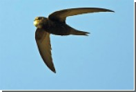 Назван вид способных летать 10 месяцев без остановки птиц