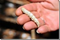 Сверхпрочную паутину изготовили из наевшихся графеном червей