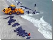В Новой Зеландии около 100 китов выбросились на мелководье. Свыше сорока погибли