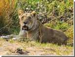 Зимбабвийские львы загрызли принимавшего душ туриста