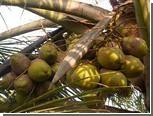 Власти Мумбаи устранили кокосовую угрозу Обаме