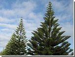 Самую высокую рождественскую сосну нарядят в Австралии
