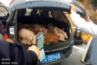 Китайский водитель спрятал во внедорожнике 20 поросят