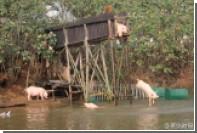 Китайский фермер заставил свиней заниматься спортом
