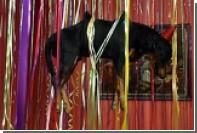 Эрмитаж отказался закрыть выставку Фабра с чучелами животных