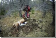 Мертвый лось проткнул рогом своего убийцу
