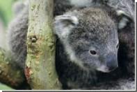 В Австралии полицейские забрали у женщины детеныша коалы
