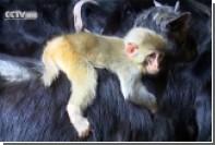В Китае детеныш обезьяны поселился с козами
