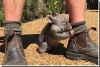 Детеныш вомбата подружился с сотрудником австралийского заповедника
